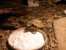 Juveniles Tier frisst zermahlene Sepiaschalen