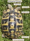 Rückenpanzer einer adulten griechischen Landschildkröte