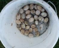 Nicht ausgebrütete Schildkröteneier