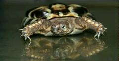 Schildkröte mit Panzerdeformation