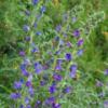 Blauer Natternkopf