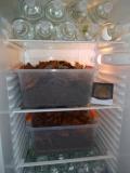 Überwinterung im Kühlschrank